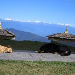 Les chiens himalayens