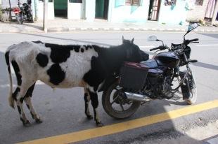 Repose-tête pour vache