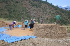Égrainage du riz