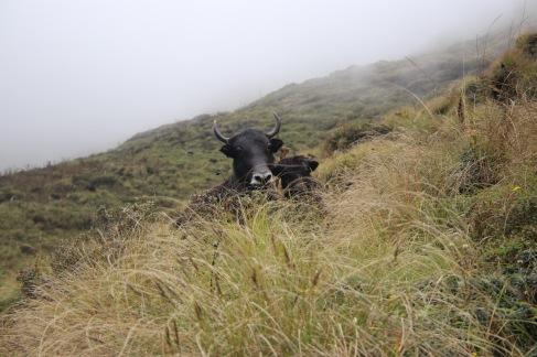 Têtes de yaks