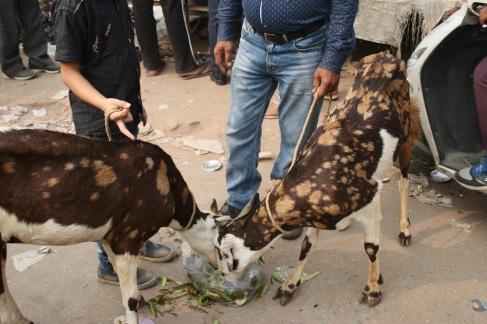 Chèvres au marché
