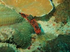 Nudibranche orange