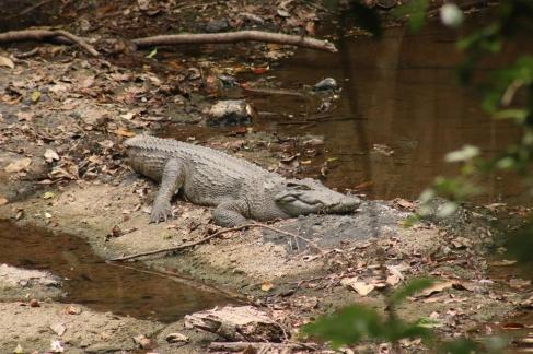 Le gros crocodile