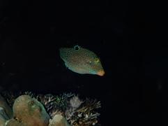 False-eye pufferfish