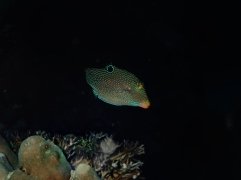 False-eye pufferfish