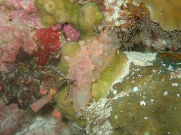 Nudibranche rose