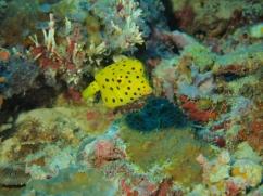 Yellow box fish