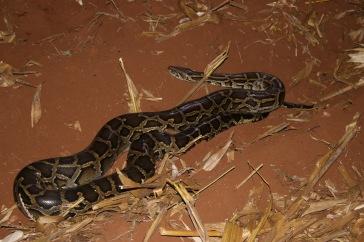 Le gros python birman