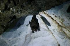 Chauves-souris suspendue