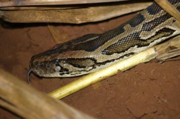 La tête du python
