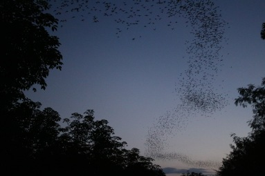 Des tonnes de chauves-souris