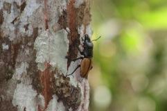 Un gros scarabée