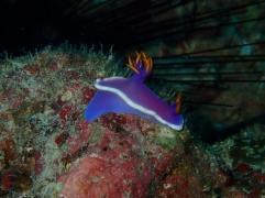 Nudibranche violette