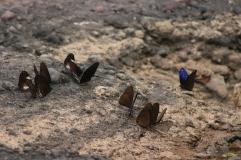 Plein de papillons