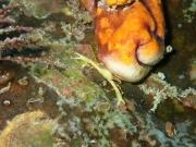 Crabe jaune