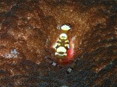 Crevette d'anémone