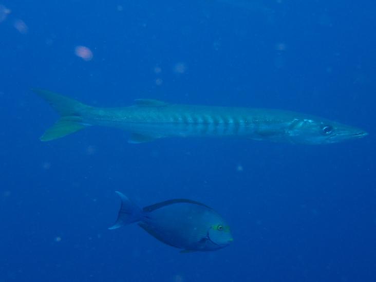 Barracuda queue jaune