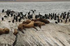 Cormorans et lions de mer