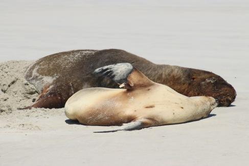 Maman et bébé lion de mer