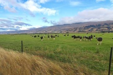 Vaches fribourgeoises en Nouvelle