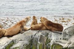 Dispute de lion de mer