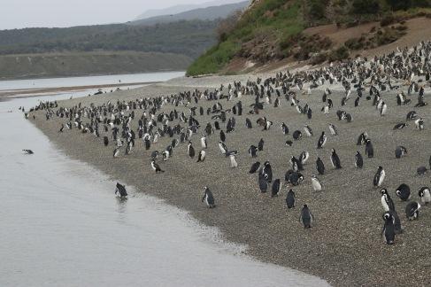 la plage aux manchots