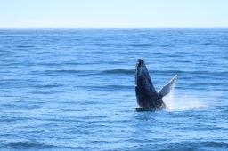 Le saut de la baleine, on s'en lasse pas