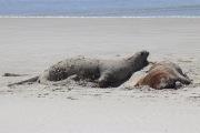 Lion de mer plein de sable