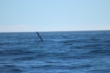 Albatros royal en plein vol