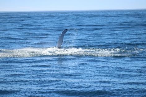 Salutations de la baleine à bosse