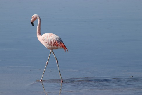 Flamingo del Chile