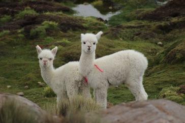 Bébés lamas