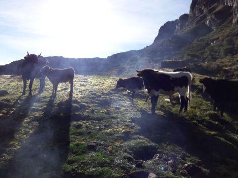 Les vaches du petit déj