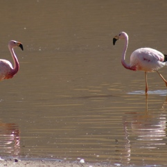 Flamants roses andins