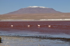 Flamands roses dans la Laguna Colorada