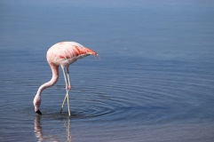 Flamingo del Chile