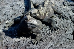 Câlin d'iguanes
