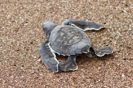 Bébé tortue marine