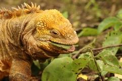 Iguane terrestre qui mange