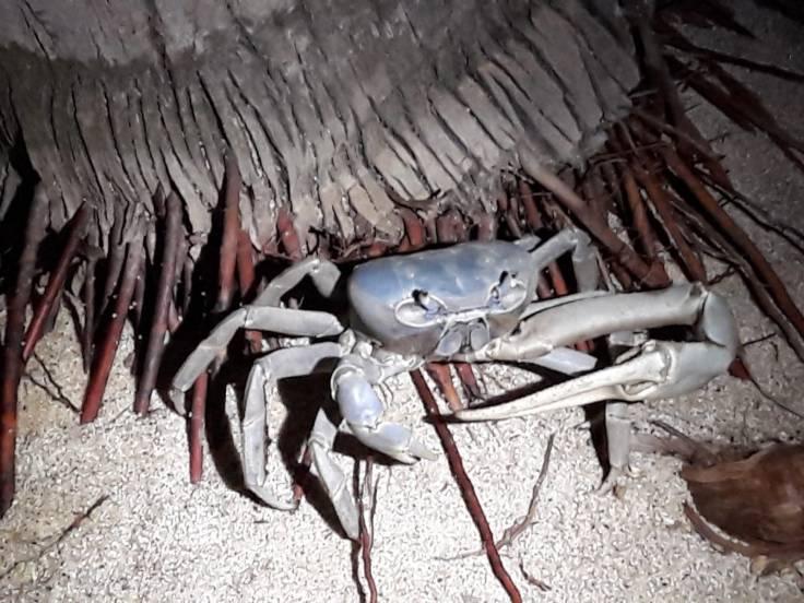 Crabe bleu