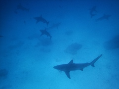 Banc de requins à pointes noires