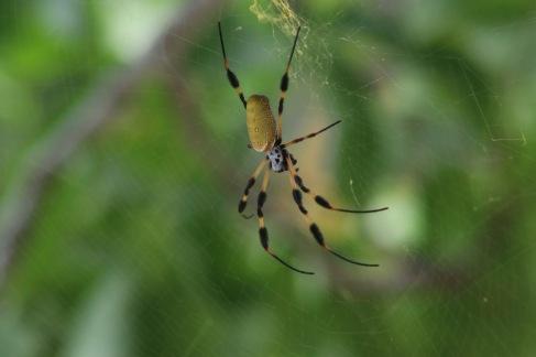 Jolie araignée jaune