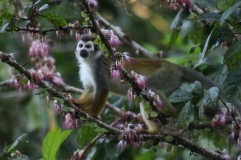 Singe écureuil