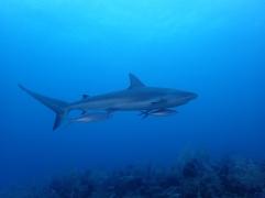 Requin gris de récif