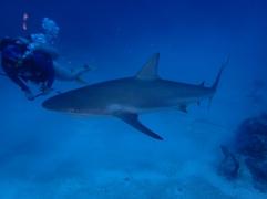Requin gris de récif et Julie