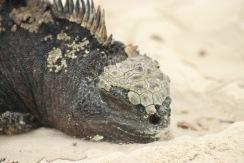 Iguane marin en pleine sieste