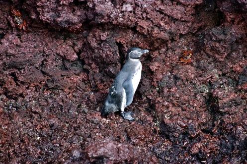 Manchot des Galápagos