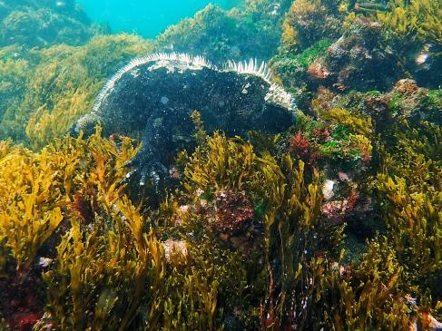 Iguane marin sous l'eau