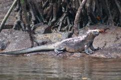 Iguane marin et crabes