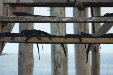 Bébés iguanes au soleil